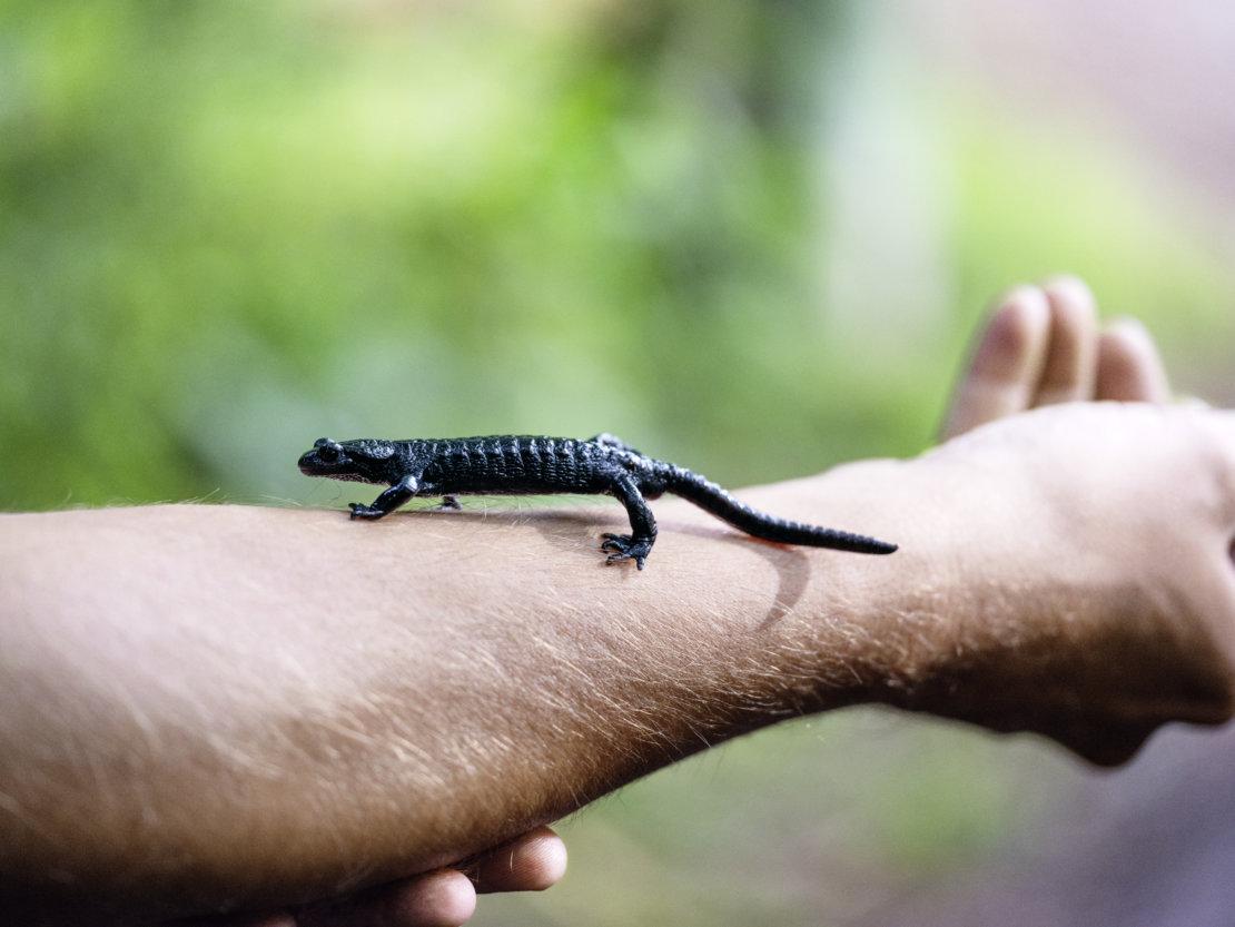 salamandre des Alpes
